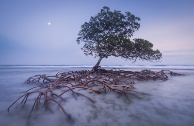 Moonrise and red mangrove, Pig Keys, Honduras.